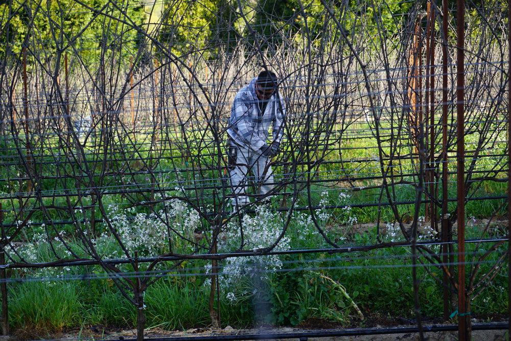 Pruning2_GantzFamilyVineyards.jpg
