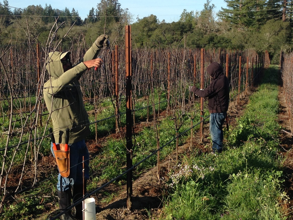 Jim's crew from Cornerstone Certified Vineyard hard at work two weeks ago pruning GFV vines.