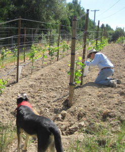 Checking the vines