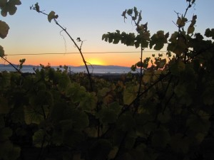 Sunrise over the vineyard