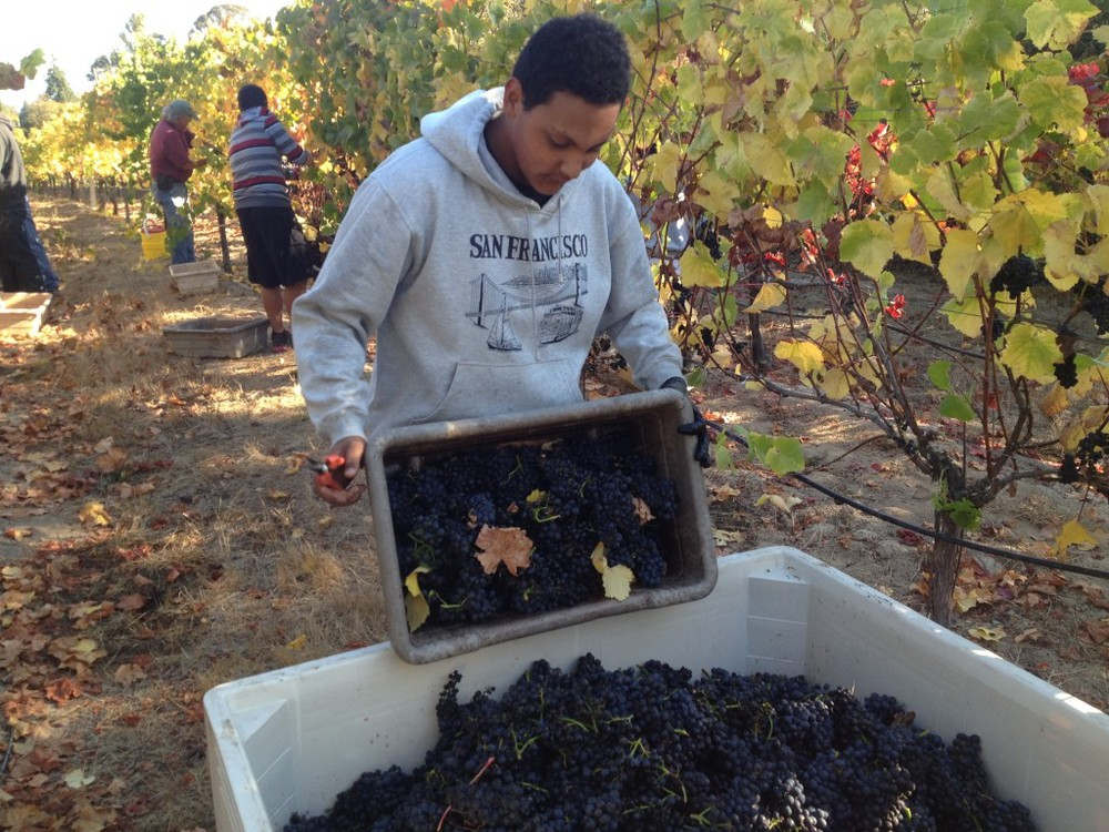 Vineyard Academy students picking Pinot Noir fruit at Ted Klopp's Thorn Ridge Ranch vineyard