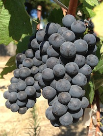 Pinotnoir_RussianRiverValley