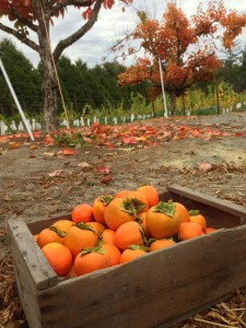 Persimmons_2013
