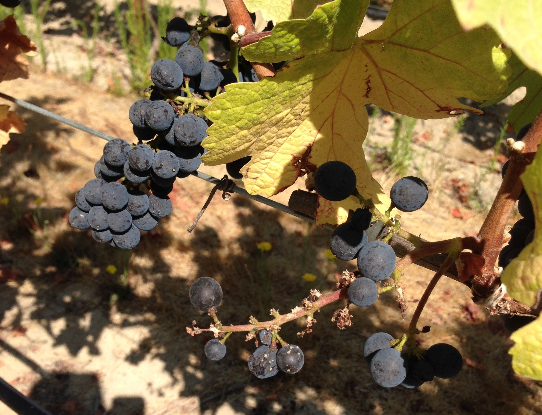 Bird Problems in the Vineyard — Gantz Family Vineyards
