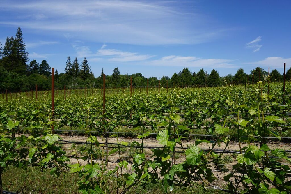Vineyard_GantzFamilyVineyards.jpg