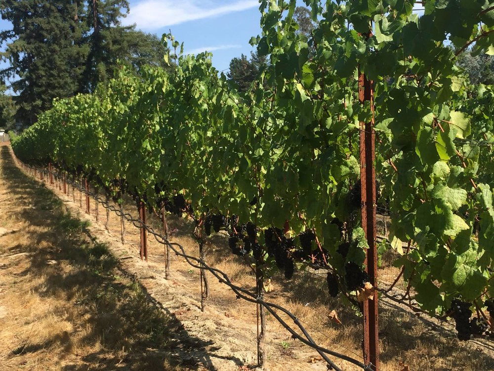 Gantz Family Vineyards, ready for harvest 2017.