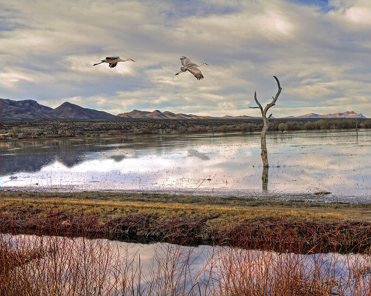 "Bosque del Apache Reflections Ann Hallett 11 x14"" matted & framed, $150 8 x 10"" with white mat, $36"