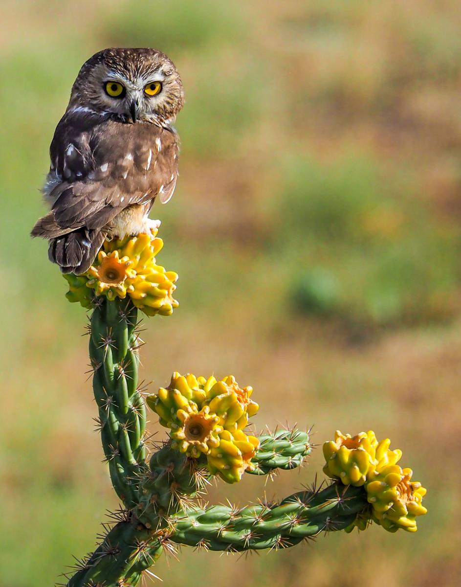 3rd Place Plants & Animals, 'Northern Saw-Whet Owl, Kelly Haller
