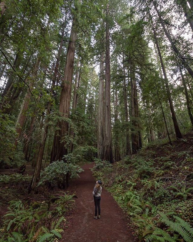 We spent this Thanksgiving humbled amongst giants.  #montgomerywoods #redwoods #oldgrowth #forest #california #mendocino #wanderlust #adventureanywhere #camptrend #liveadventurously #keepitwild #explore #exploremore #exploretocreate #seeyououtthere #rei1440project #hike #liveauthentic #stayandwander #getoutdoors #optoutside #lifeofadventure #neverstopexploring #wildernessculture #theoutdoorfolk #freshairclub #thetrickytree #everytrailconnects