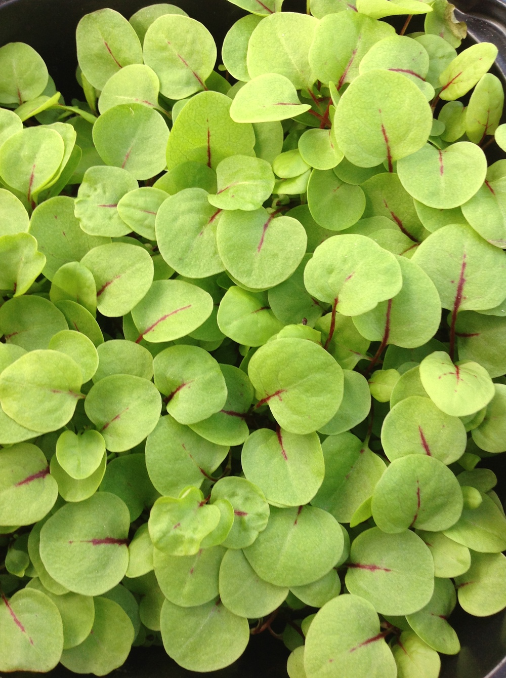 Red Veined Mirco Sorrel