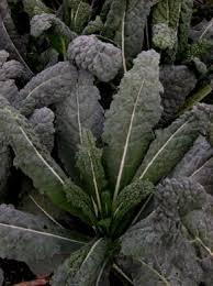 Black Dinosaur Kale