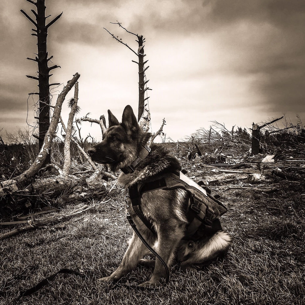 Porsche (shown above) is a 4 year old German Shepherd import from the Czech Republic working with local law enforcement and search & rescue teams in Beauregard, Alabama on March 4, 2019 after the deadly EF-4 tornado struck Lee County, AL killing 23 residents.