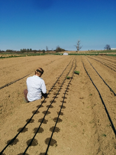 Planting onions - they're hearty plants but they take some care to plant
