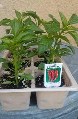 'Hot Portugal' Pepper