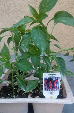 Pepper ' Cayenne'