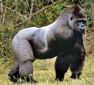 eng gorilla.jpg