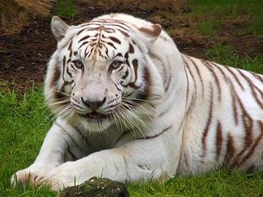 Eng tiger.jpg