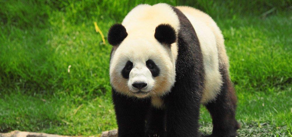 Eng panda.jpg