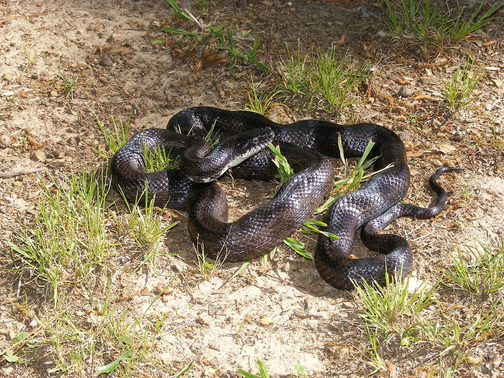 That's why they call it a chicken snake — The Homesteader ...