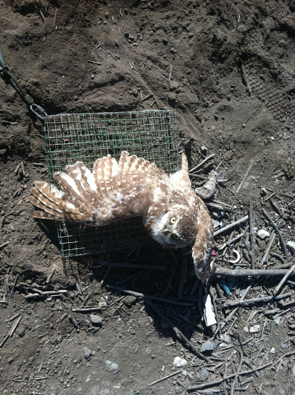 Burrowing Owl Capture - Seal Beach.JPG