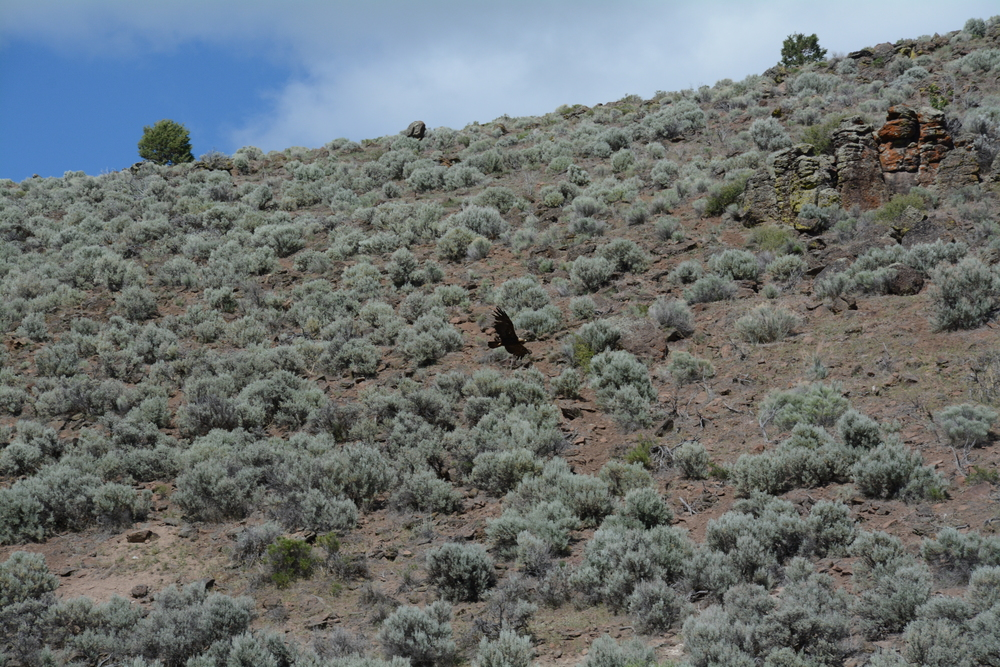 Golden Eagle flying above big sage in the Great Basin