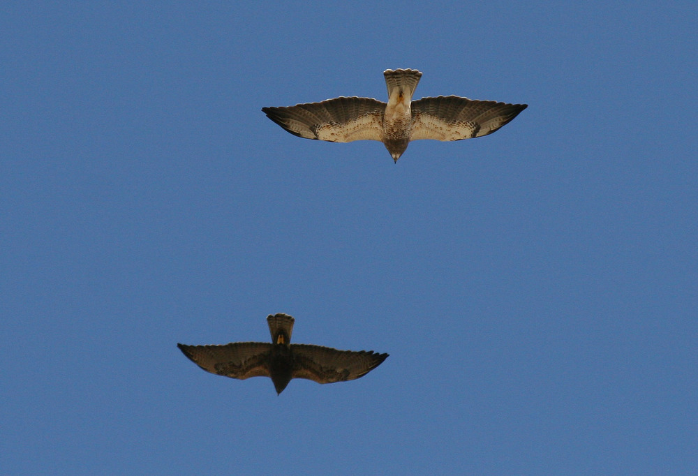 Swainson's Hawk, light, dark phase (Borrego Springs, 3-23-08).jpg