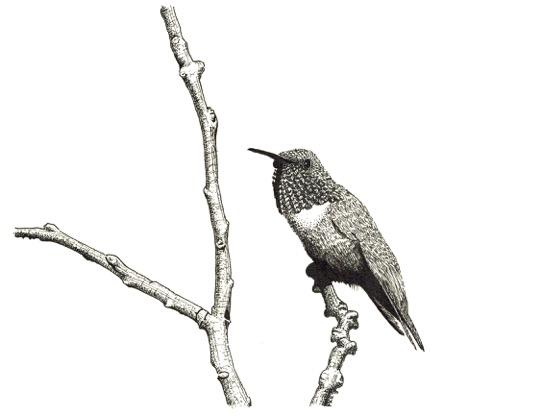 Allen's Hummingbird by Marcus C. England  http://art.mcengland.com