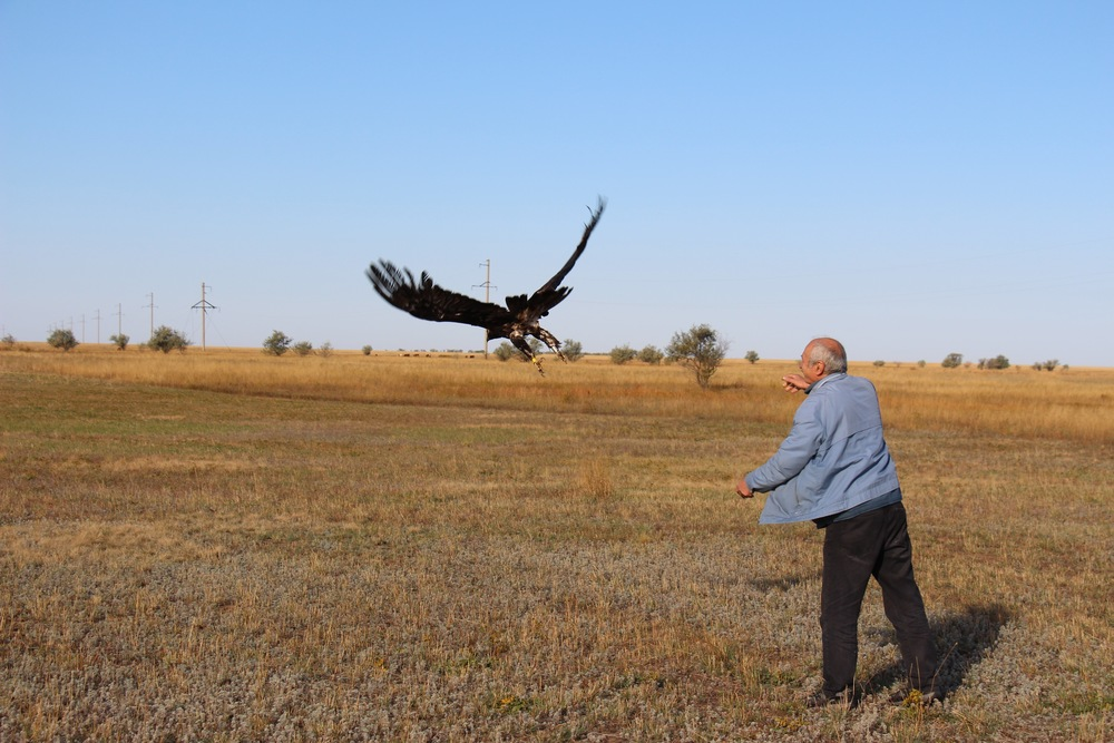 Dr. Bragin releasing the adult male Imperial eagle on September 23, 2015