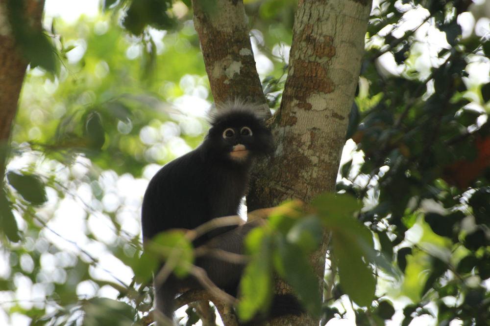 Dusky Leaf Monkey or Dusky Langur, Trachypithecus obscurus