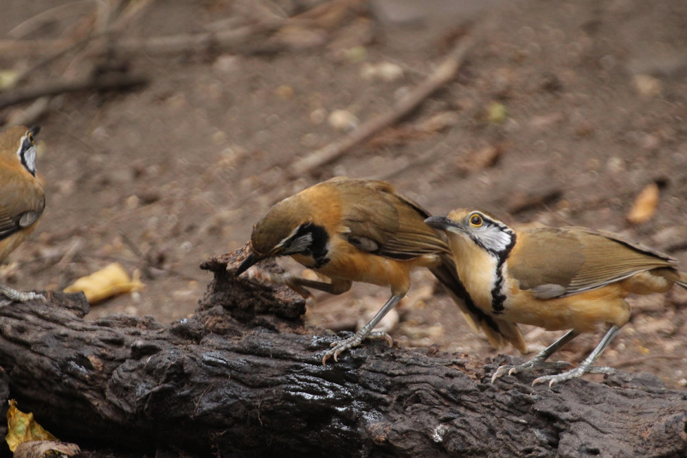 Greater Necklaced Laughingthrush, Garrulax pectoralis