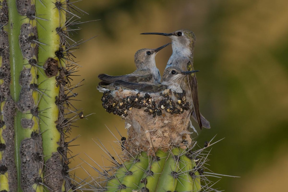 Costa's hummingbird nest, San Juan Capistrano - Photo courtesy of Richard Jackson