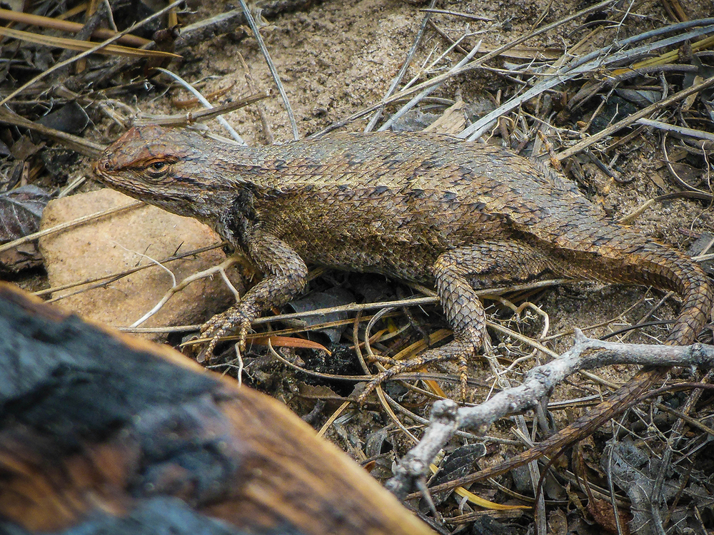 Spiny lizard Joni found.