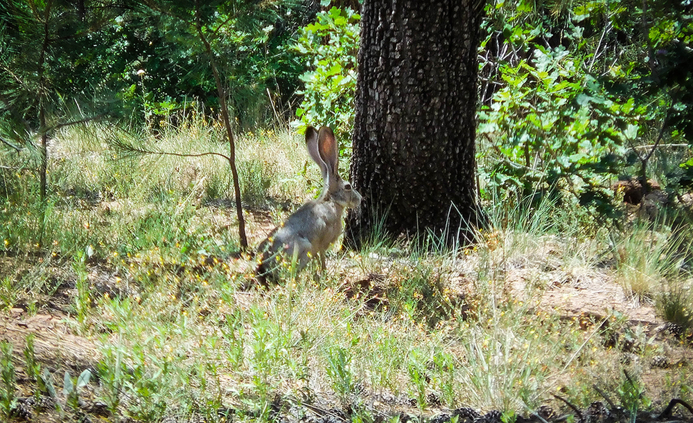 We have lots of cottontail rabbits in our yard but this HUGE jackrabbit in the Kaibab National Forest took us by surprise.  This photo doesn't do justice to how big it really was!
