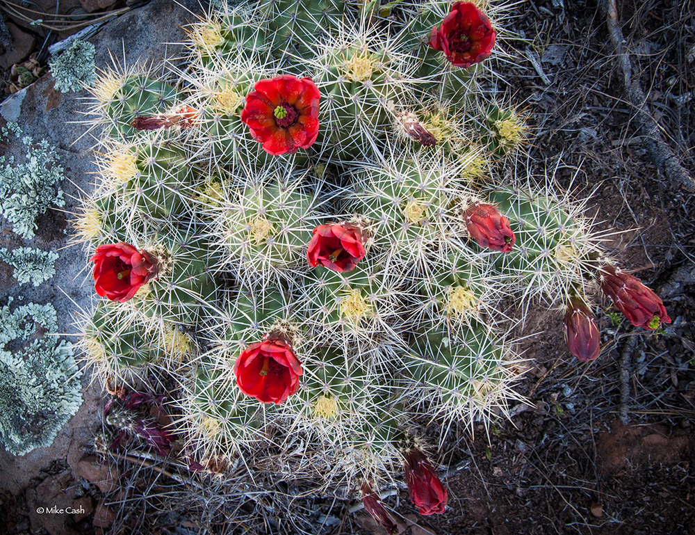 Lots of Claret Cup Cactus to be found.