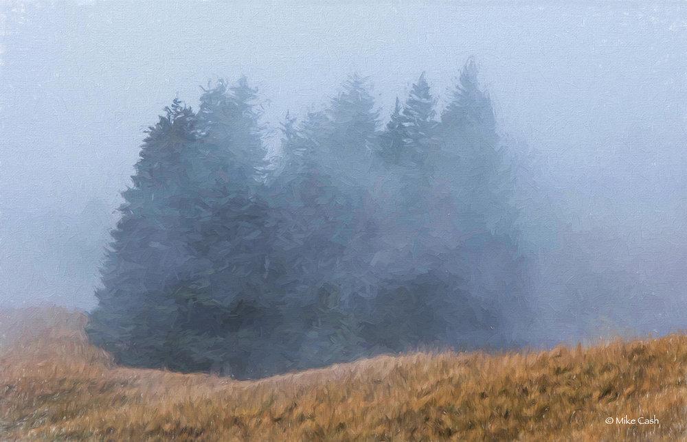 Foggy Evergreens