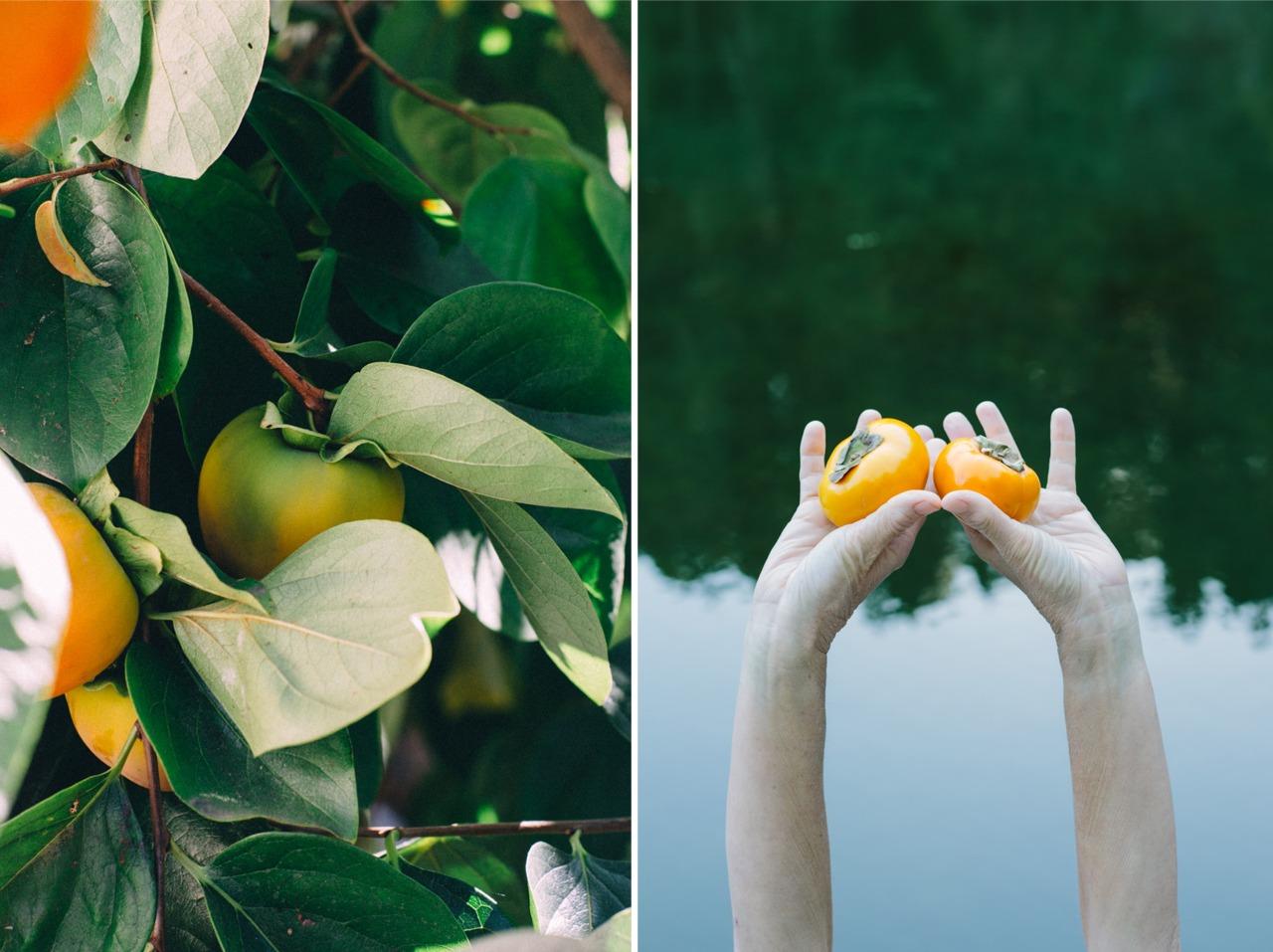 persimmon season.