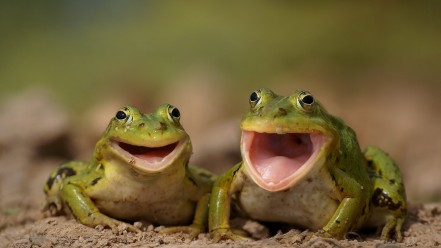 animals_close_up_frogs_laughing_smiling_m78684