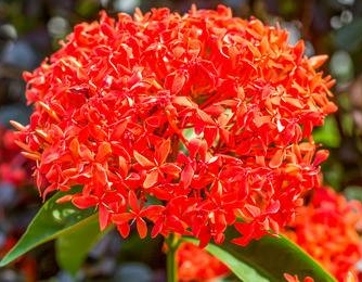 - Club Flower: Ixora Our Club Colors: Red and WhiteClub Motto: Working Today - For A Beautiful TomorrowClub Song (Last Stanza of