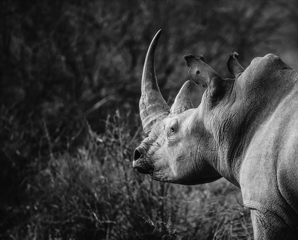 Rhino relaxing in the bush.