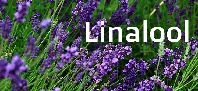 Aroma:Floral,citrus,candy Effects:Anxiety reliefand sedation Medical Value:Anti-anxiety,anti-convulsant,anti-depressant, anti-acne Also Found In:Lavender *High Linalool Cannabis Strains:G-13,Amnesia Haze,Lavender,LA Confidential