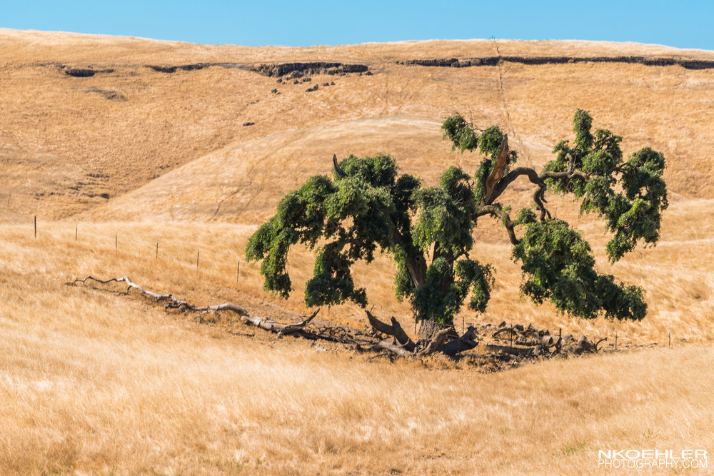 Moving our way towards Yosemite National Park; I saw this tree by it's self in a field. Wanted to show the solitude of the tree.