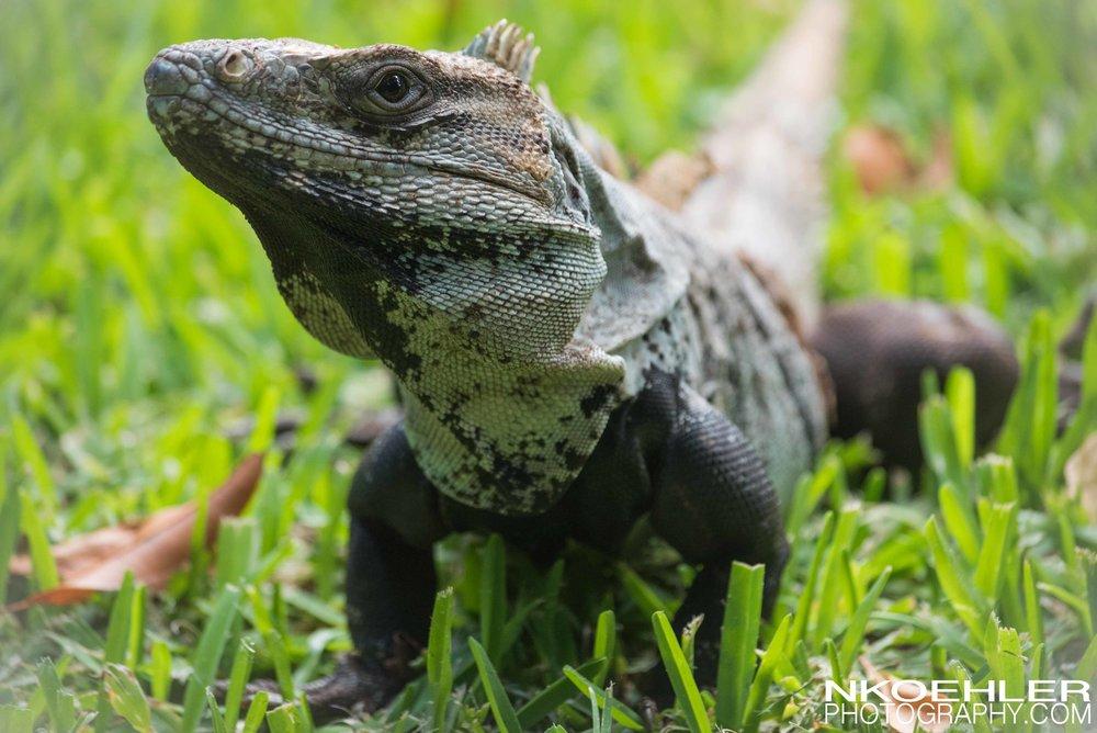 Iguana basking in the sun.