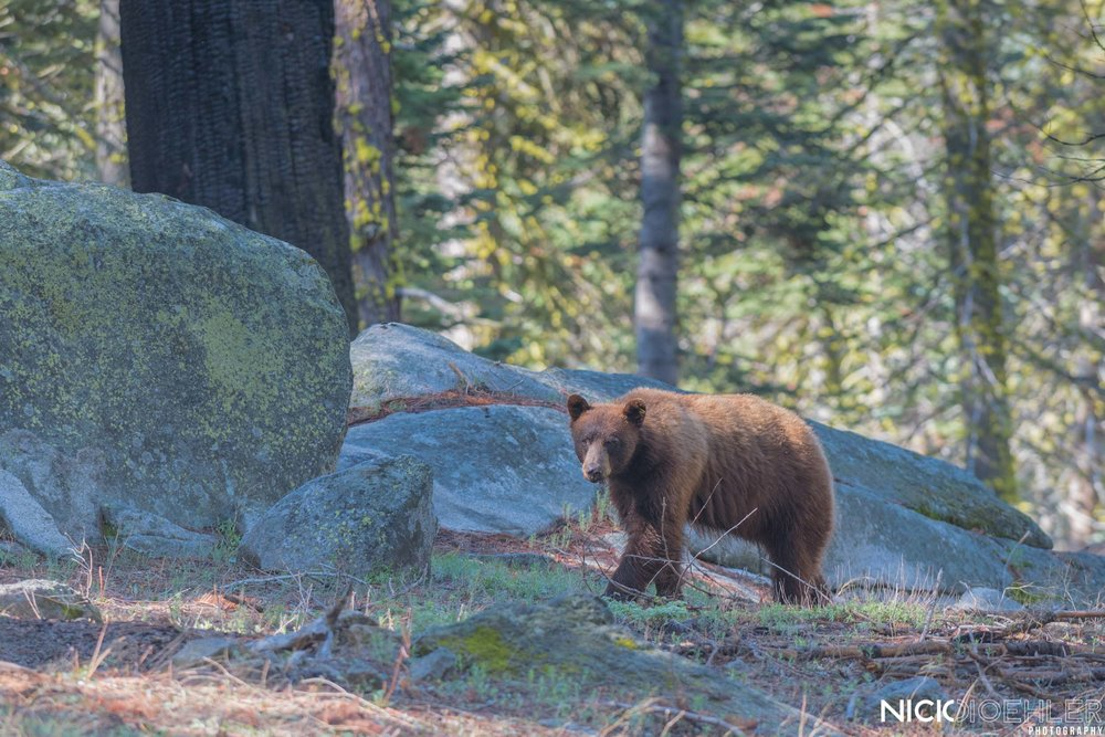 Yosemite National Park: A black bear walking along the forest floor after eating a nice grass lunch.