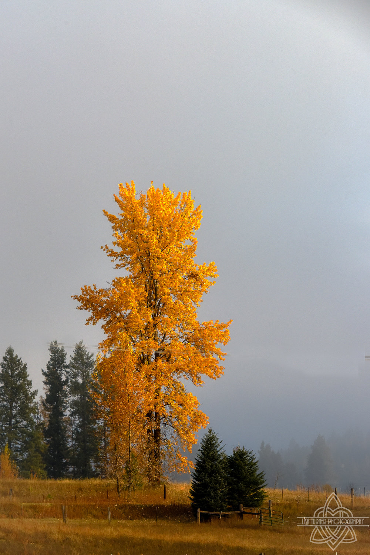fall tree boone crockett (1 of 1).jpg