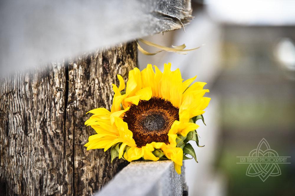 sunflowers (1 of 1).jpg
