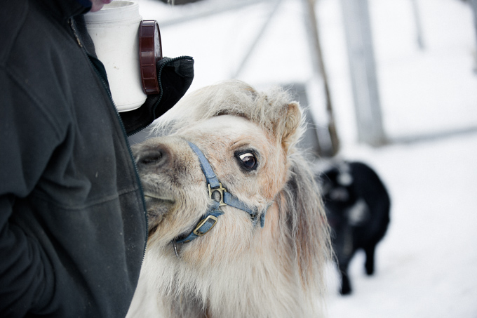 Joel, a Miniature Horse