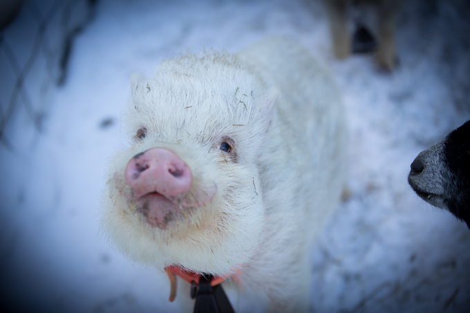 Wilhemena Pearl, a Pot-Bellied Pig