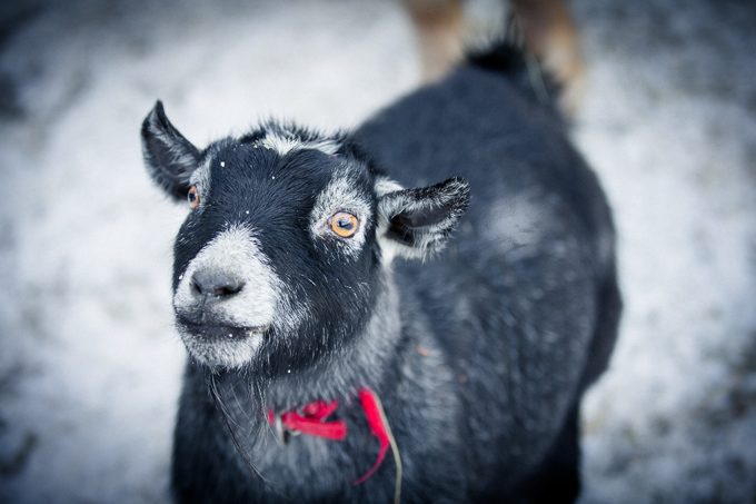 Gracie, a Miniature Goat