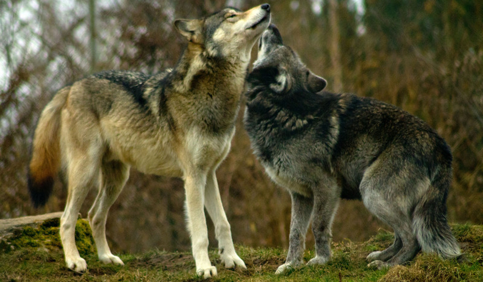 The-Story-of-The-Two-Wolves-canstockphoto9801818-950x556.jpg
