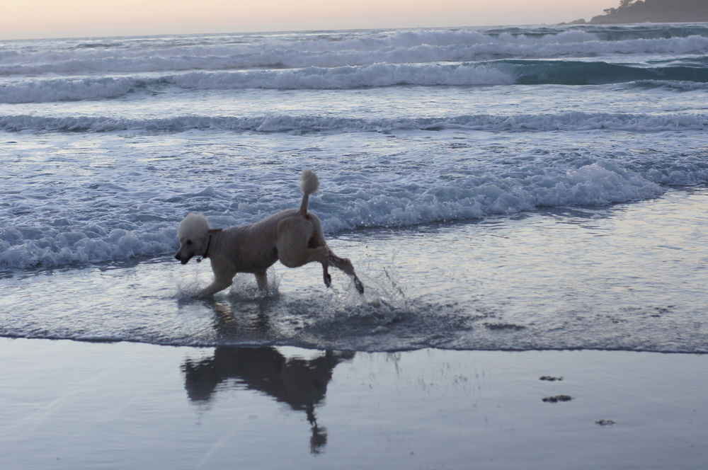 Bobo at Carmel, California, by the Pacific Ocean.  2011
